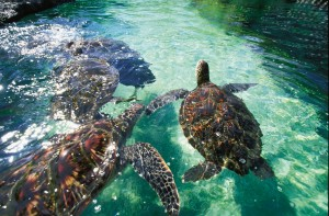 Honu at Maui Ocean Center