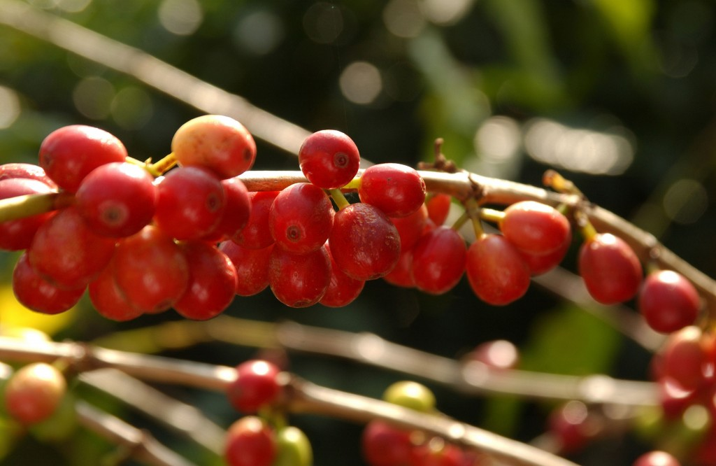 The one-of-a-kind growing conditions in Kona make for a highly prized cup of coffee.