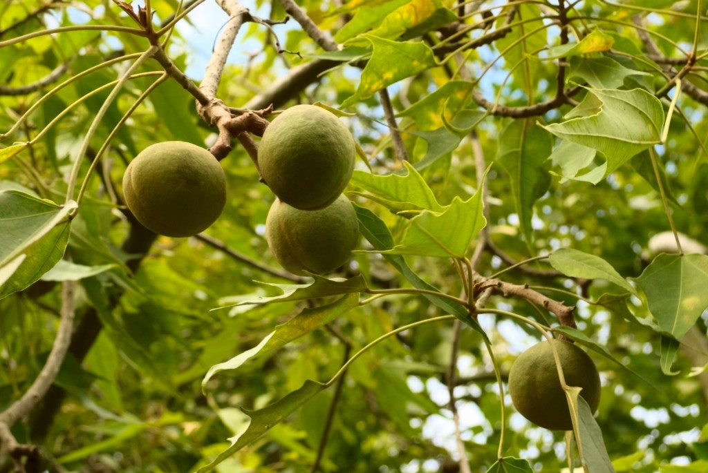 Green, fleshy fruit surrounds the kukui nut and its oily kernel.